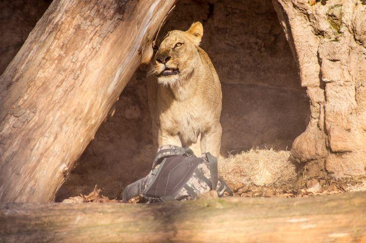 Zoobesucher klettert ins Löwengehege