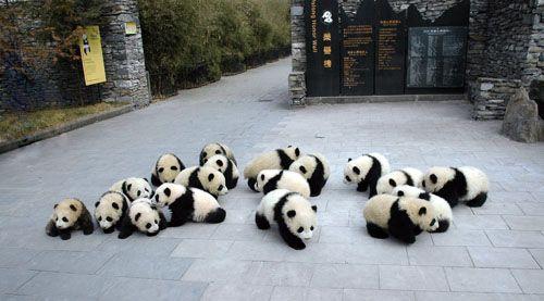 臥龍(中国) : 子パンダの幼稚園 panda kindergarten