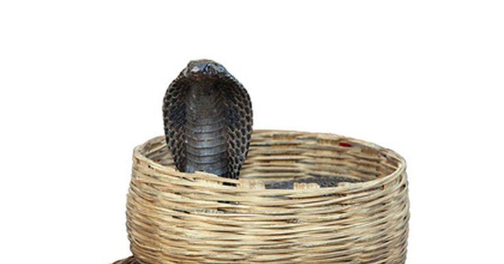 Hábitat natural de las Cobras Reales. Las cobras reales son las serpientes venenosas más grandes del mundo. El macho promedio mide 18 pies de largo, y algunos han sobrepasado los 20 pies. Cuando se sienten amenazadas, silban, se enderezan, despliegan sus capuchas y se preparan para escupir el veneno. Pueden enderezarse hasta 1/3 de su longitud, lo que significa que las más grandes ...
