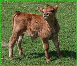 South Side Farm Miniature Jersey Cattle - Miniature Jersey Cows,Miniature Jerseys,Miniature Jersey Cattle,Mini Jersey Cattle, Miniature Jersey Dairy Cattle,Miniature Jerseys For Sale,Certified Miniature Jersey Cattle, Miniature Jersey Breeder,NY,New York,Miniature Jer