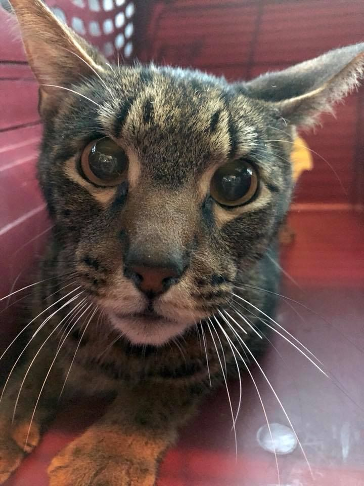 Besides the injured bobcat, Noel, that came in earlier this evening, here is another new cat.  Jamie is on the way back from Alabama with Loki, a Savannah cat who became unwanted after his parents got a divorce.  More details will follow tomorrow