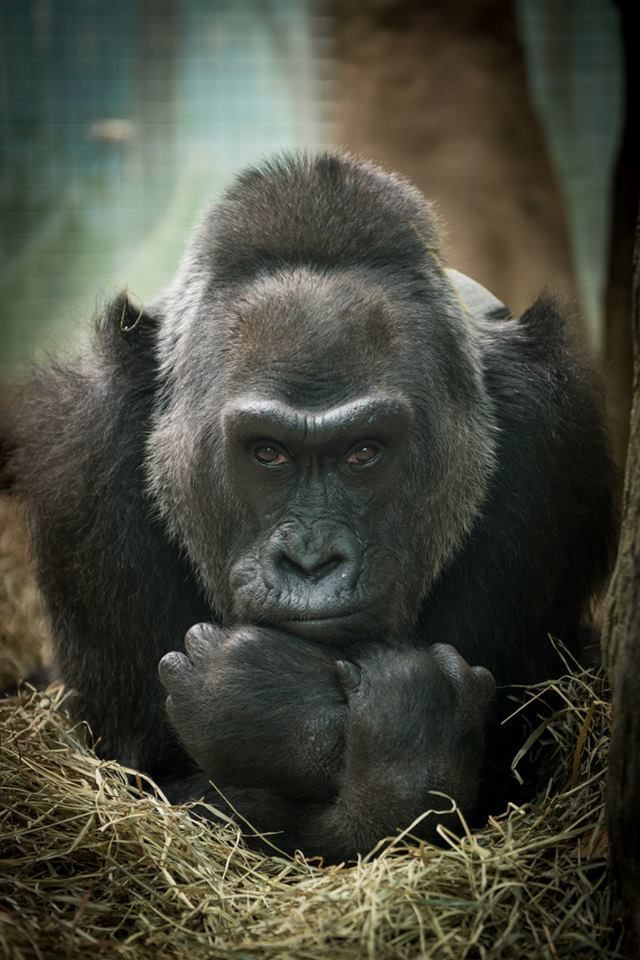 "COLUMBUS, Ohio --  The Columbus Zoo has announced some very sad news: Colo, the world's oldest zoo gorilla, has died.  The zoo posted on its Facebook page:  ""It is with great sadness we report that the oldest gorilla in the world, Colo, passed away in her sleep overnight. Colo was the first gorilla born in human care and she exceeded her normal life expectancy by more than two decades."""