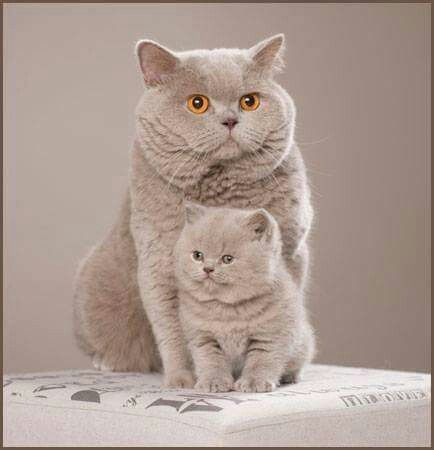 Beautiful Boofheads - British Shorthair