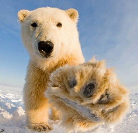 Polar bears endangered due to climate change and melting ice