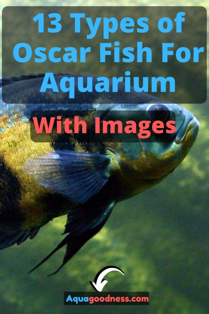 13 Types Of Oscar Fish For Aquarium With Images Aqua Goodness In 2020 Oscar Fish Tiger Oscar Fish Fish