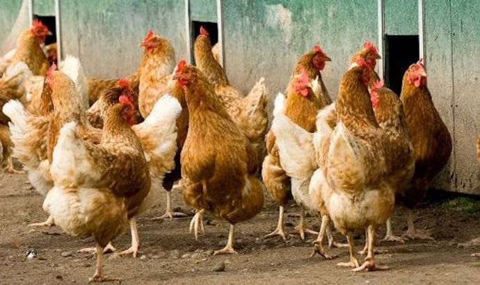 #Ban on sale of live chickens after bird flu outbreak - DestinyConnect: DestinyConnect Ban on sale of live chickens after bird flu outbreak…