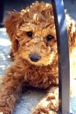 australian labradoodle...oh my goodness!!! ACS, remind me again, why don't we have a pup?