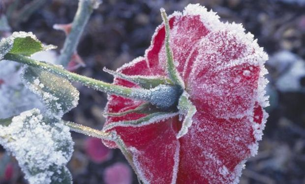 Tips to Prepare Your Roses for Winter