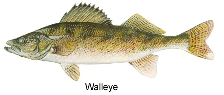 West Virginia Dnr Sport Fishing Species Identification Walleye Fishing Fish Drawings Fish