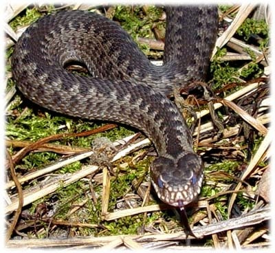 the common european adder, vipera berus, is often found in the lower lying areas of the national park
