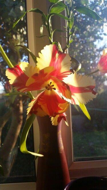 Gorgeous parrot tulip