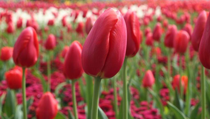 Tulip Garden by Mandy Law