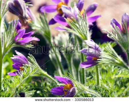 Pulsatilla - Pasqueflower - Sasanka