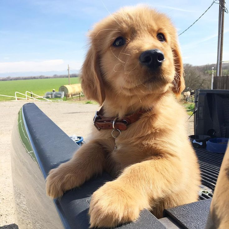 """Mi piace"": 12 mila, commenti: 41 - Puppies Dogs Pets (@puppyskit) su Instagram: ""Just chillin 😍 Follow me (@puppyskit) 🐶  Credit: 🎥 @unknown 🐶 . . #golden #goldenoftheday…"""