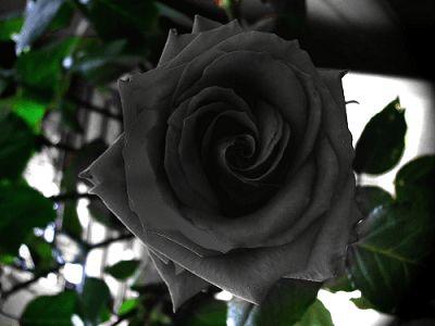 Siyah Gül | Plant-Home