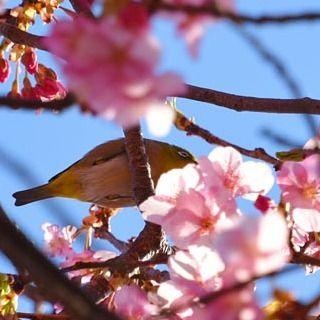 【cabrioletducati】さんのInstagramをピンしています。 《-------- * 松田山のハーブガーデンその6 * メジロくんがウロウロしていたのですが、ワタシのように落ち着きが無く、、、残念なshotになってしまいました。。。。 * * 撮影地:神奈川県 * #松田山 #松田山ハーブガーデン #満開 #桜 #河津桜 #ピンク #青空 #メジロ # #東京カメラ部 ## ######### #Tokyo #Japan #LOVE_NIPPON #lovers_nippon ## #Nikon #D7200 #ニコン ## ################ #ツーリング #バイク #touring #オートバイ #motorcycle ### ######################》