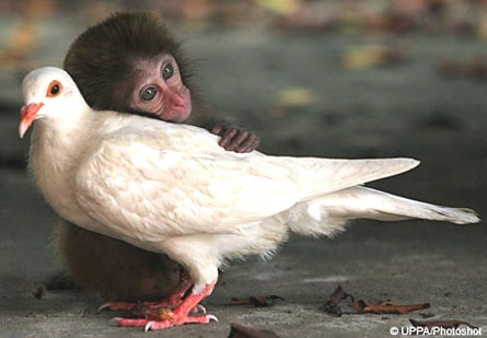 a baby monkey was rejected by his mom and was very depressed until a dove came along and offered him all the love and affection that he needed to cheer up. The two became best friends and now they're inseparable. Read about it here.http://www.metro.co.uk/news/65876-its-dove-at-first-sight