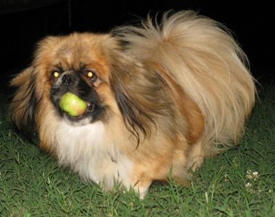 The best dog ever...Pekingese. My Gidget does the exact same thing...has to bring her ball everywhere with her!