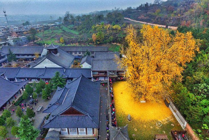 1400-letni miłorząb z Chin zatapia buddyjską świątynię w złocistym oceanie spadających liści.