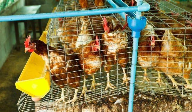 Vyhýbáte se klecovým vejcím a raději kupujete podestýlková? Státní veterinární správa, která slepičárny kontroluje, doporučuje ke koupi vejce od slepic…