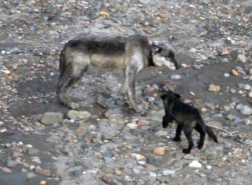 wolf pup asks for food from his dad, alpha male at Denali National Park