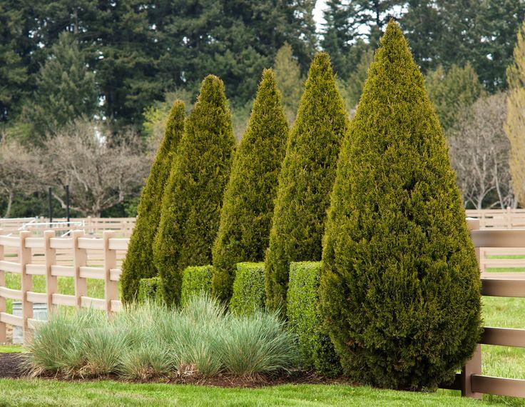 Juniperus chinensis 'Spartan'Chinese juniper Height: 15.00 to 20.00 feet  Spread: 4.00 to 5.00 feet  Bloom Time: Non-flowering  Bloom Description: Non-flowering  Sun: Full sun  Water: Medium