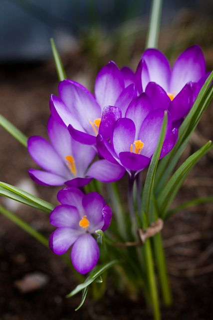 ˚Purple Crocuses