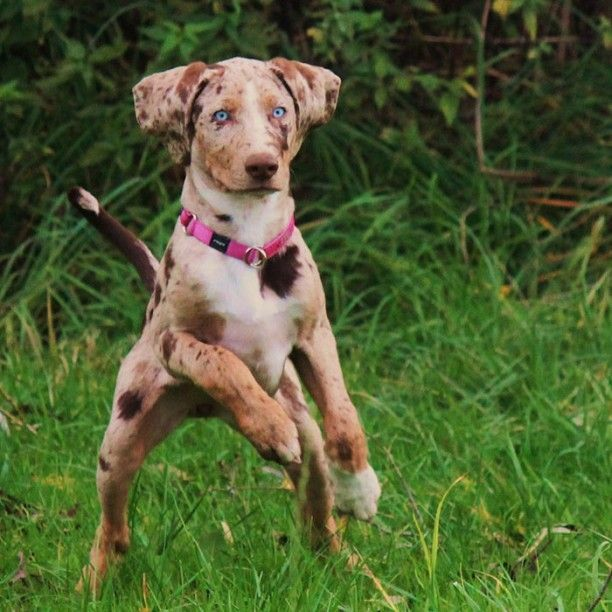 Prized by Native Americans for their incredible hunting abilities, these pups have been favorites of famous hunters like Teddy Roosevelt. The Catahoula Leopard Dog is named after the Catahoula Parish in Louisiana, where the breed originated.