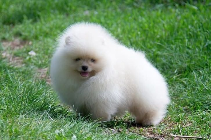 Pictures Of Tiny White Dogs