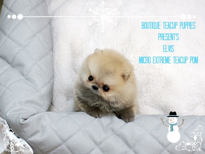 1000 Images About Micro Teacup Puppy S On Pinterest