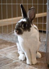 Hannah is a very sweet bun looking for a new home! Come meet her at the new Ohio House Rabbit Adoption Center in Columbus, OH!