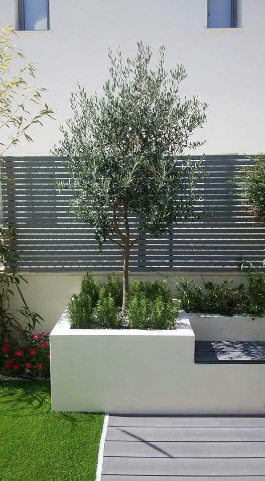 Olive tree with clipped rosemary