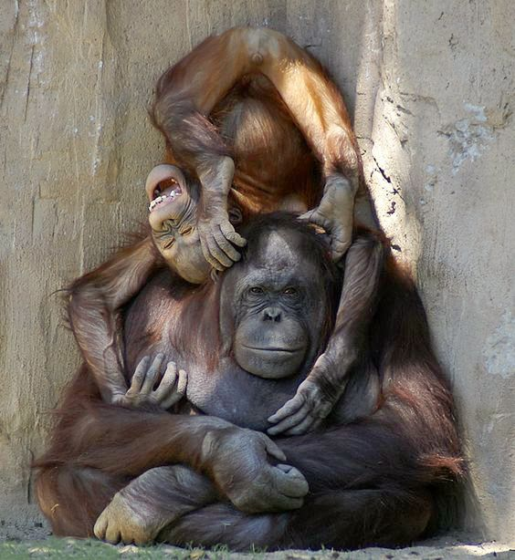 Monkey business: a playful young orangutan and its patient mother.  (John More)