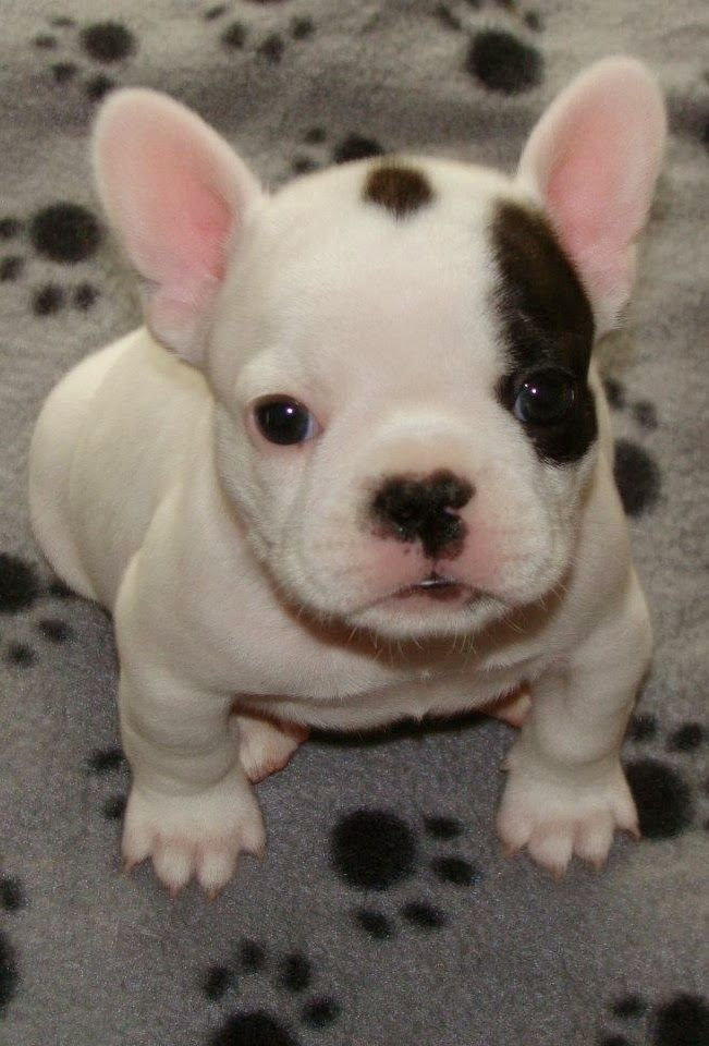 I Love all Dog Breeds: Top 5 Cutest Dog Breeds: Baby Frenchie, French Bulldogs, Cutest Dogs, Adorable Frenchie, French Bulldog Puppies, Dog Breeds, Animal