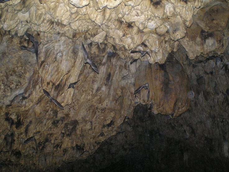 Bayano Lake cave bats