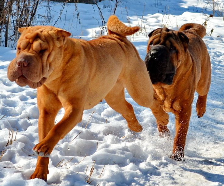 our sharpei dogs