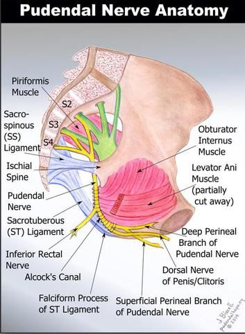 422 best male pelvic pain images on pinterest anatomy physical the center for pelvic floor and core rehabilitation have specialists in the treatment of pudendal neuralgia or pudendal nerve entrapment publicscrutiny Images
