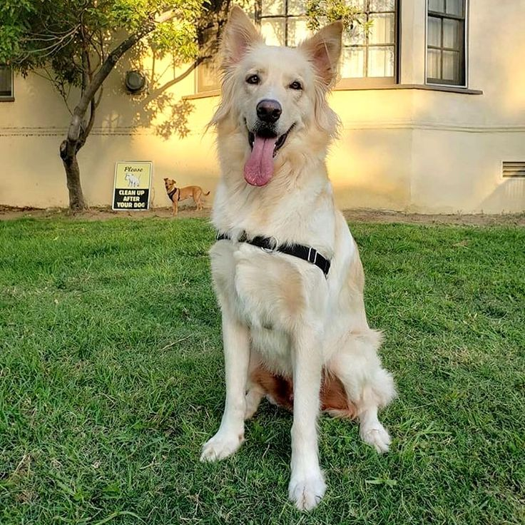 Golden Retriever German Shepherd Mix Puppy Price 2021