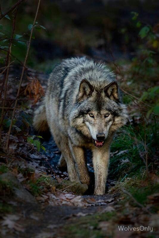 Wolf                                                                                                                                                                                 Mehr