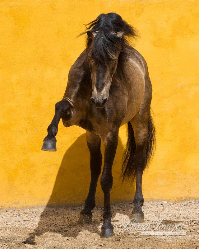 Lusitano StallionPortugal Lusitano, Horses Photographers, Carol Walker, Lusitano Horses, Hors Infatuation, Heart Horses, Handsome Horses, Portuguese Horses, Lusitano Stallion
