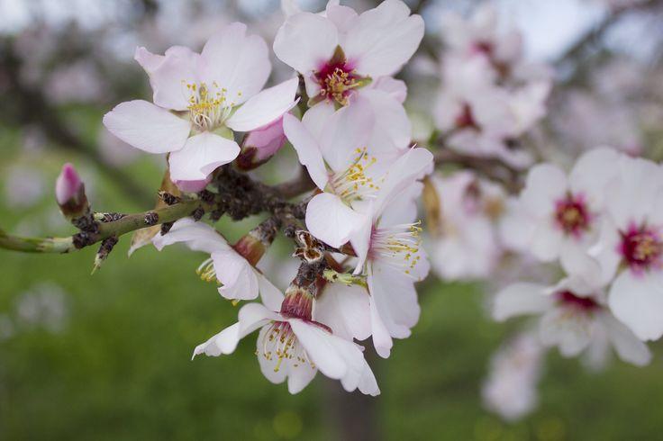 spring, flowering almond, Rhodes Greece
