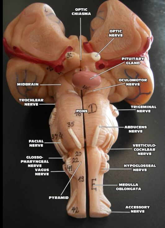 The Brain dissected.  Photo curtesy: Dora's Nursing on Flickr