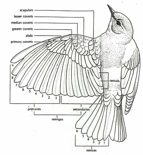 wings bird feathers and feathers on pinterest : bird diagram - findchart.co