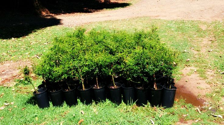 Finger Lime trees ready to be planted.