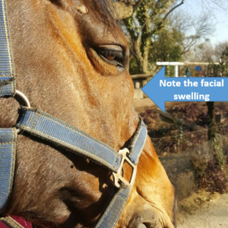 http://ift.tt/2qQu1Hf of a Horse with a Maxillary Sinus Cyst