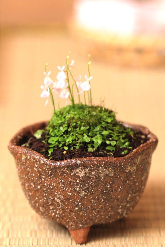 fatimaivo ウサギ苔盆栽 信楽焼鉢の苔盆栽 うさぎの花が咲きます!可愛いプレゼントにも最適 うさぎ 苔 width= - http://item.rakuten.co.jp/nakamurabonsai/b00246/