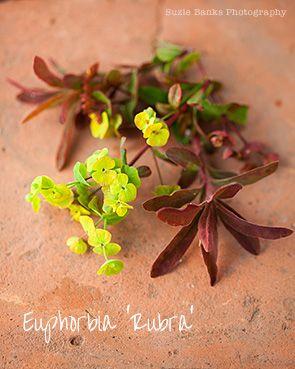 Euphorbia 'Rubra'