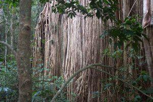 Curtain Fig Tree, Yunguburra, Atherton Tablelands, Tropical North Queensland, yourtrails.com.au