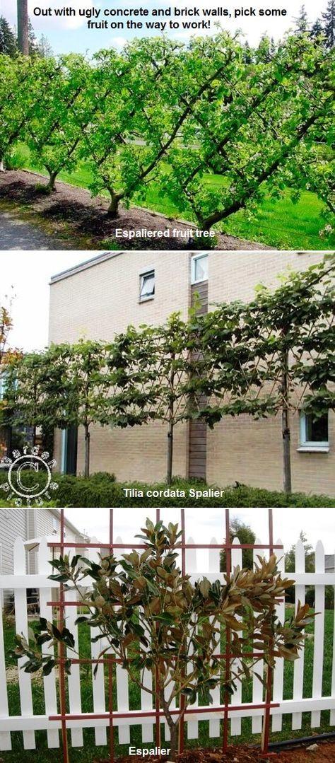 27 best espalier images on pinterest espalier fruit trees vegetable garden and gardening tips for Olive garden san bernardino ca