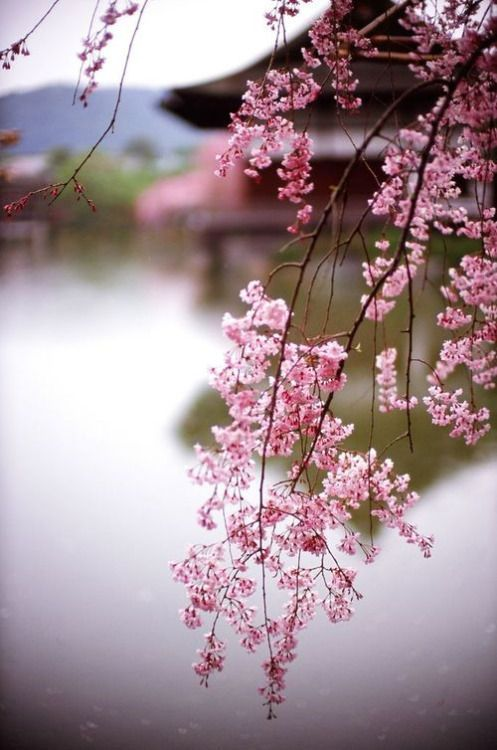 60 best plum blossoms images on pinterest blossoms plum and colors pink japan beautiful shot of sakura blossom sciox Images
